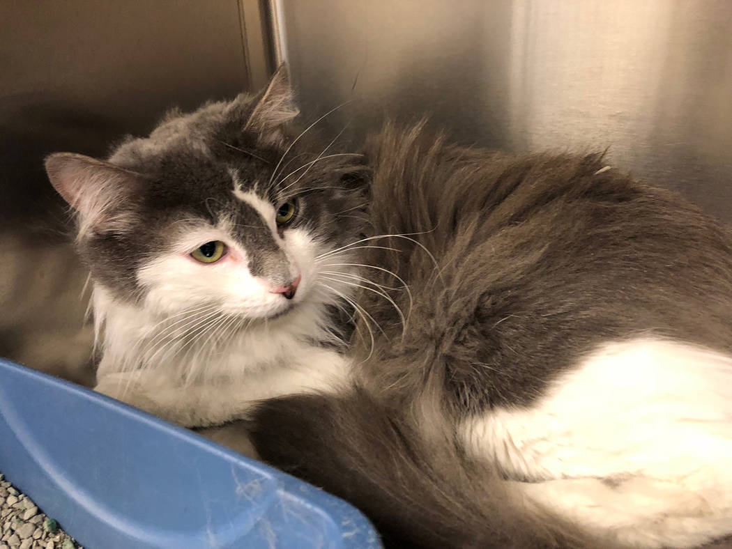 Boulder City Animal Shelter Benny is a sweet 3-year-old male cat in need of a lot of love. Benny has been neutered and is fully vaccinated. For more information on Benny, call the Boulder City Ani ...