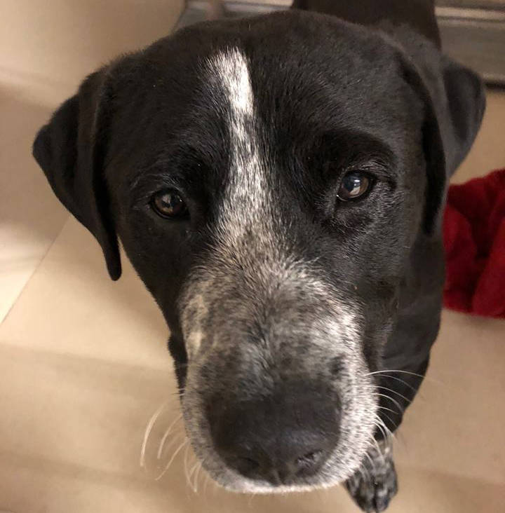 Boulder City Animal Shelter Casey is a 10-month-old black Labrador mix. He is neutered, vaccinated and housetrained. Casey is accustomed to living with other dogs and loves children. For more info ...