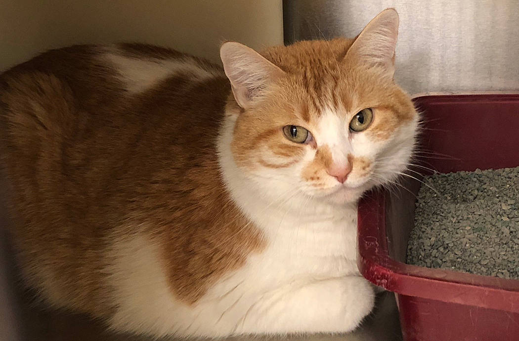 Boulder City Animal Shelter Ginger came to the shelter as an orphan when her human died. She is 10 years old, spayed and extremely clean. Ginger loves the company of humans, but is scared of dogs. ...