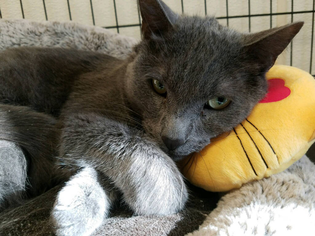 Boulder City Animal Shelter Sebastian is a 3-year-old male Russian Blue. He is neutered and has been vaccinated. Sebastian is quiet and loving. For more information, call the Boulder City Animal S ...