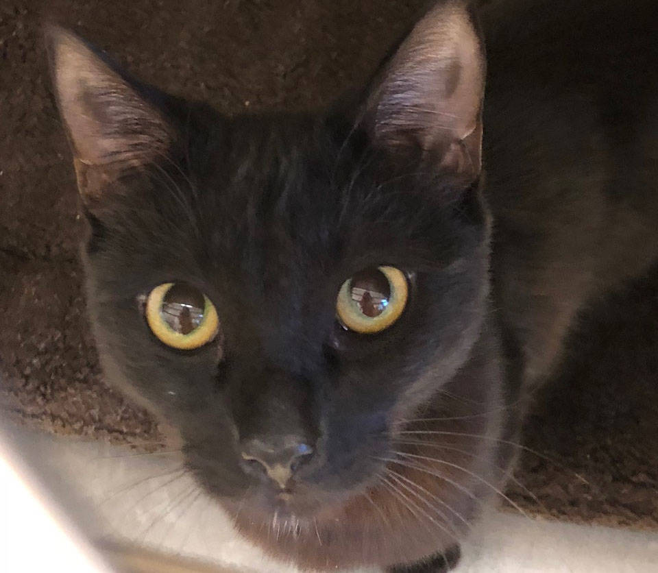 Boulder City Animal Shelter Bandit is a 1-year-old neutered male cat in need of a new home. Bandit is clean, loving, affectionate and has been vaccinated. For more information, call the Boulder Ci ...