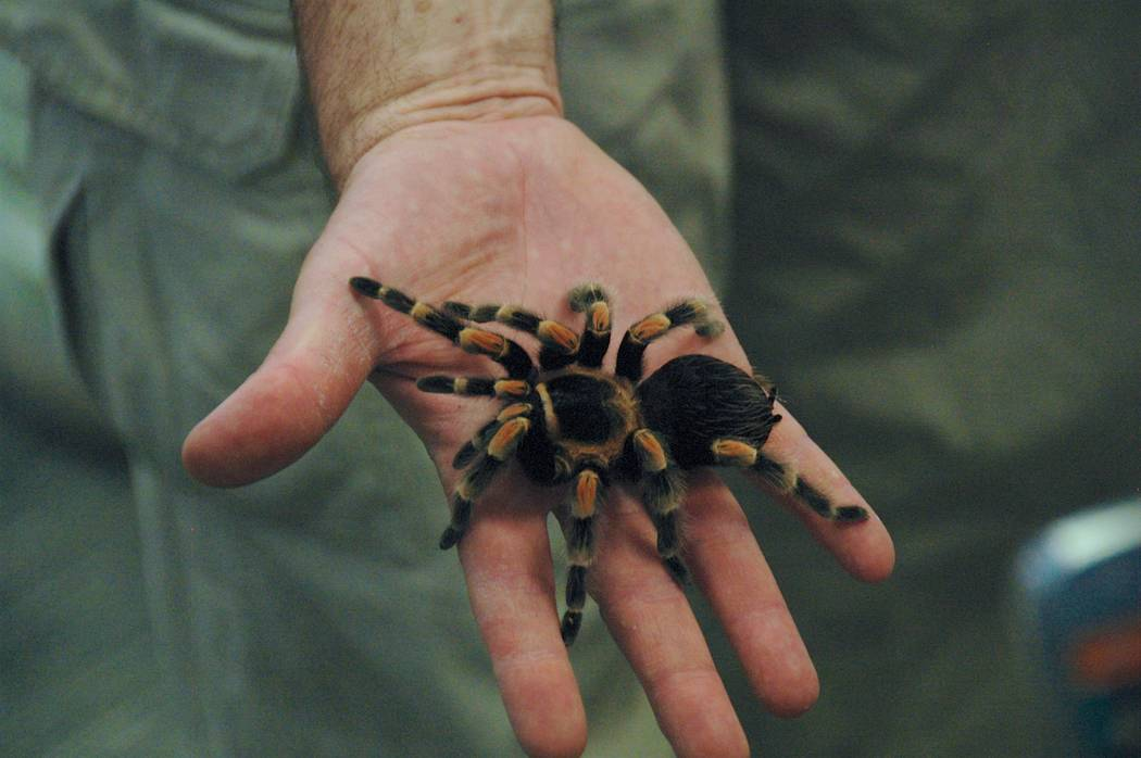 Jayme Sileo/Boulder City Review Chuck Meyer holds a Mexican red-knee tarantula that had many backing up and away from him during a kick off for Boulder City Library's summer reading program Tuesda ...
