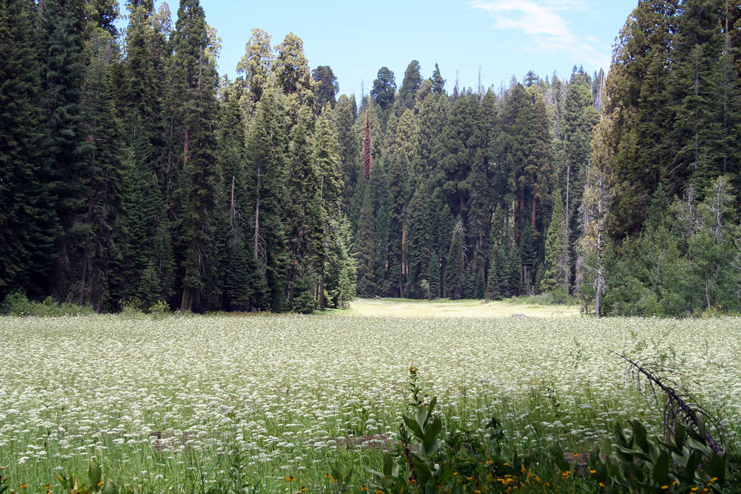 "Deborah Wall Crescent Meadow in Sequoia National Park is often carpeted with wildflowers in summer. John Muir coined the nickname of this meadow ""The Gem of the Sierra."""