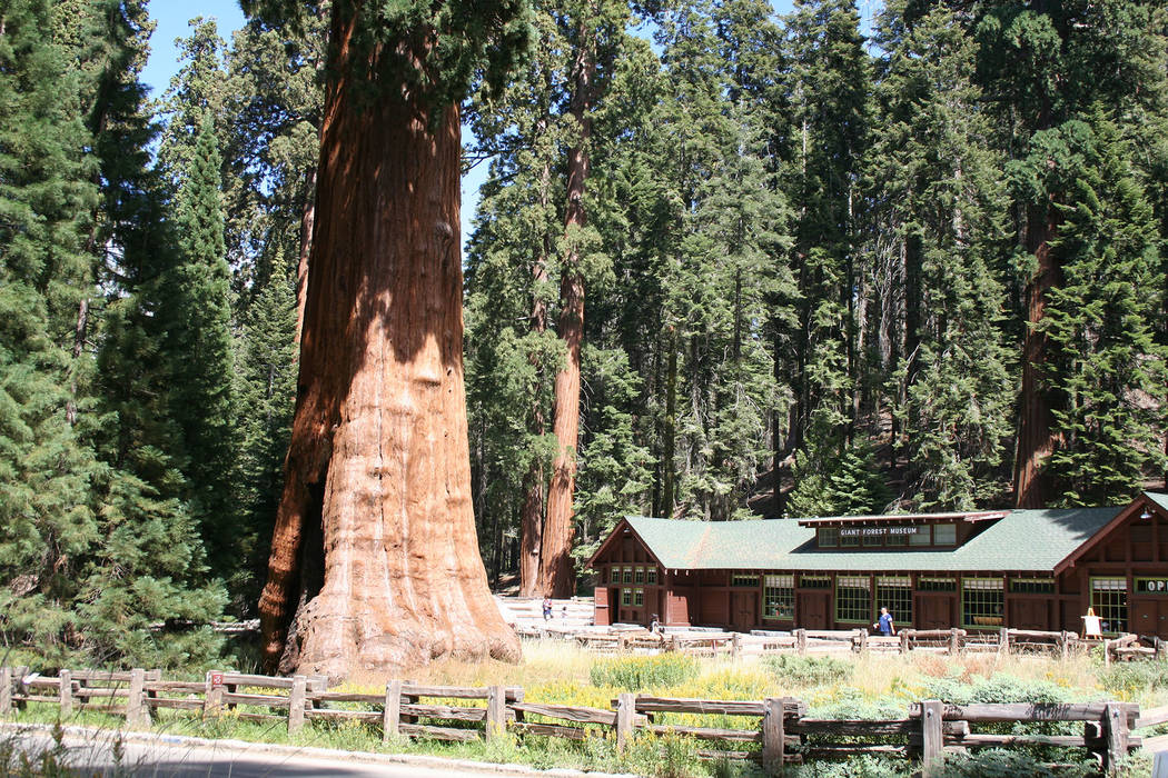 Deborah Wall A giant sequoia tree dwarfs the Giant Forest Museum in Sequoia National Park, California.