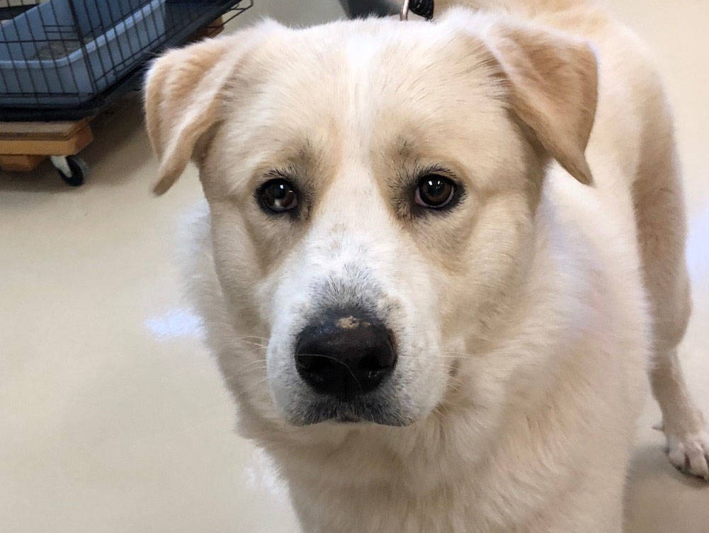 Boulder City Animal Shelter Mowgli is a 1-year-old Great Pyrenees in need of a new home. Mowgli is gentle, loving and playful. He will go to his new home neutered and fully vaccinated. For more in ...