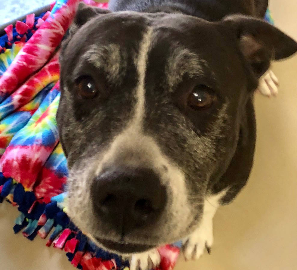 Boulder City Animal Shelter Diamond came to the shelter as an owner surrender when her family became unable to care for her. Diamond is housetrained, spayed and vaccinated and has a history of liv ...
