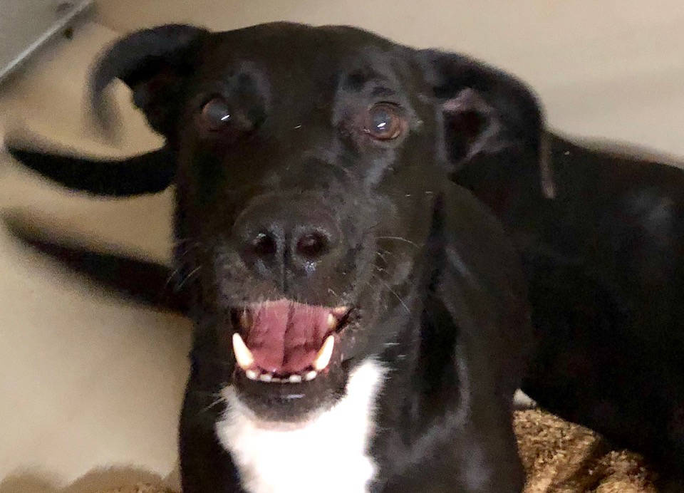 Boulder City Animal Shelter Opie came to the shelter after he was abandoned near U.S. Highway 93. He is approximately 2 years old and a black Labrador mix. Opie is now neutered, vaccinated and rea ...