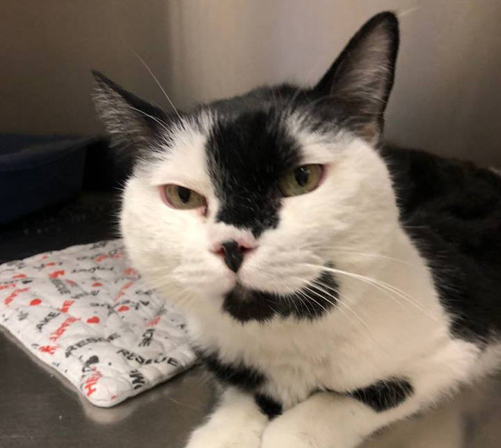 Boulder City Animal Shelter Maggi came to the shelter when her owner died. She is 8 years old, spayed, affectionate and accustomed to living with other cats and dogs. Adoption applications are ava ...