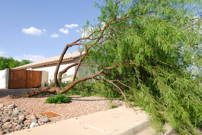 Norma Vally High winds that accompany monsoons can knock over trees. Keep them pruned and thinned.