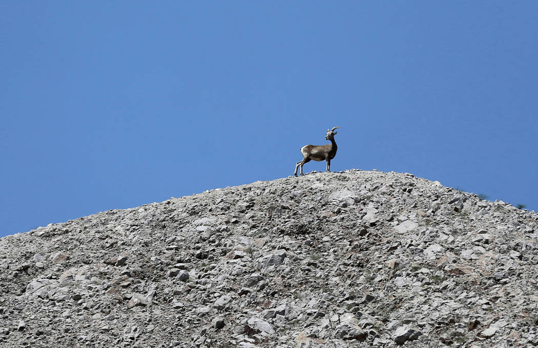 K.M. Cannon/Las Vegas Review-Journal A bighorn sheep watches during a ceremony at the Interstate 11 overlook marking the opening of a 12.5-mile section of the freeway, also known as the Boulder Ci ...