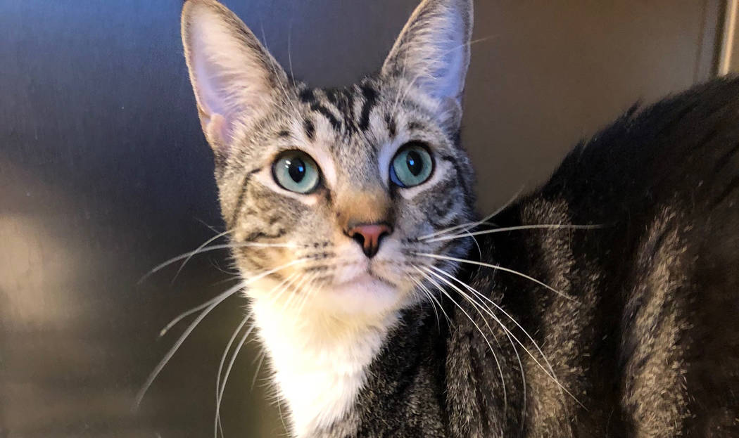 Boulder City Animal Shelter Buster came to the shelter after he was abandoned on Avenue G. Buster is approximately 3 years old, neutered and vaccinated. He gets along well with other cats and love ...