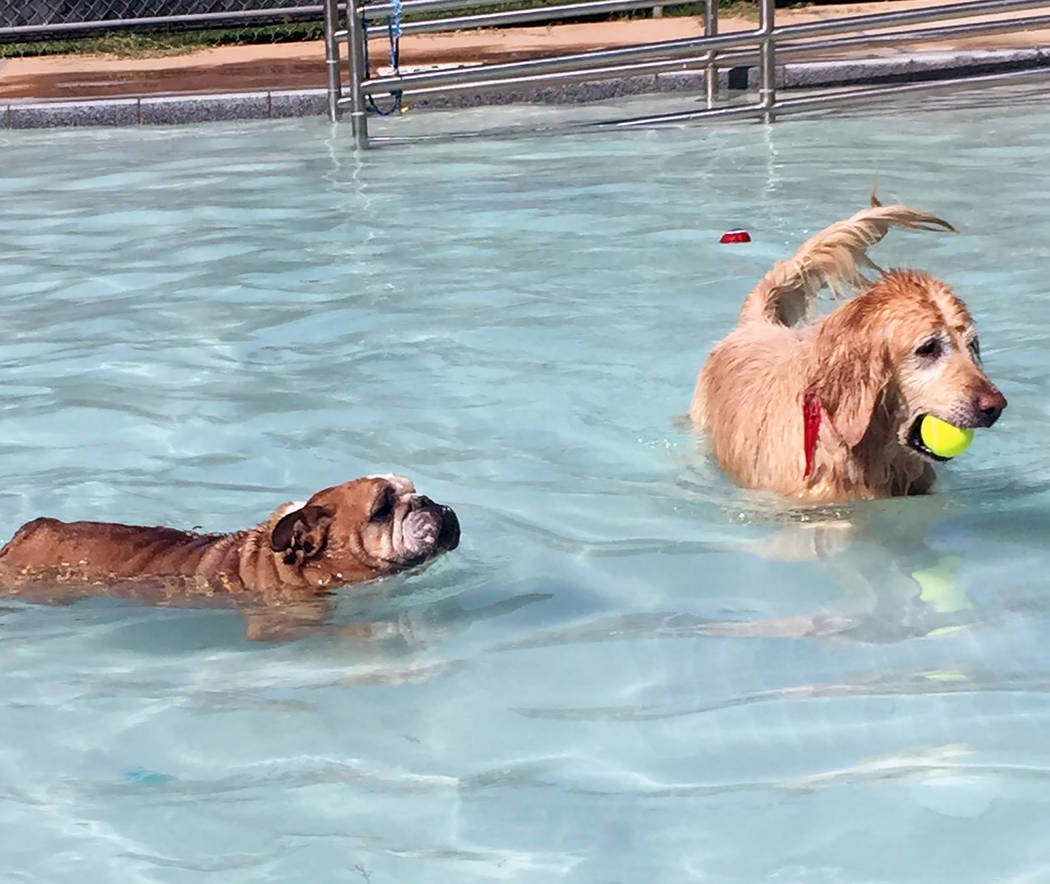 File Canines will get a chance to swim in the Boulder City Pool on Saturday during the annual Soggy Doggy pool pawty before the facility closes for cleaning and installation of the bubble.