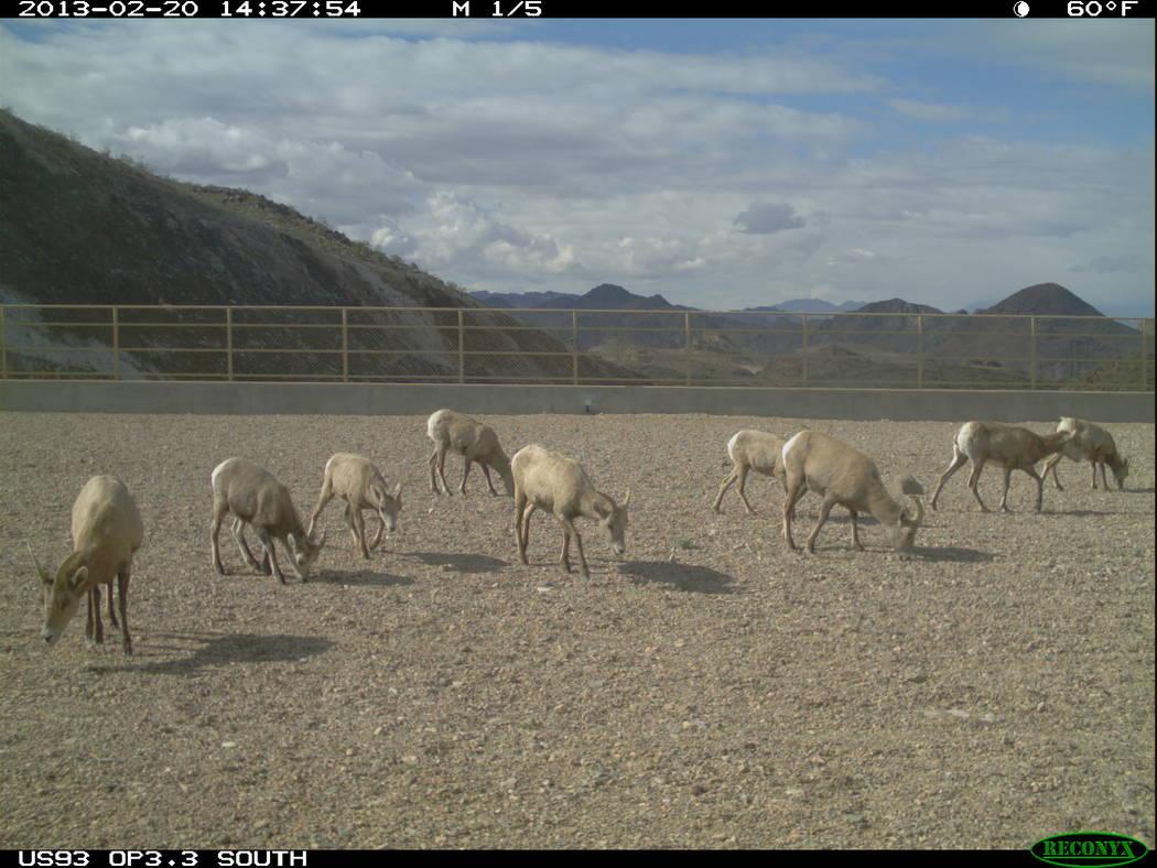 Arizona Game and Fish Department A herd of desert bighorn sheep grazes its way over U.S. Highway 93 in Arizona east of Hoover Dam using one of three wildlife bridges opened in 2011.