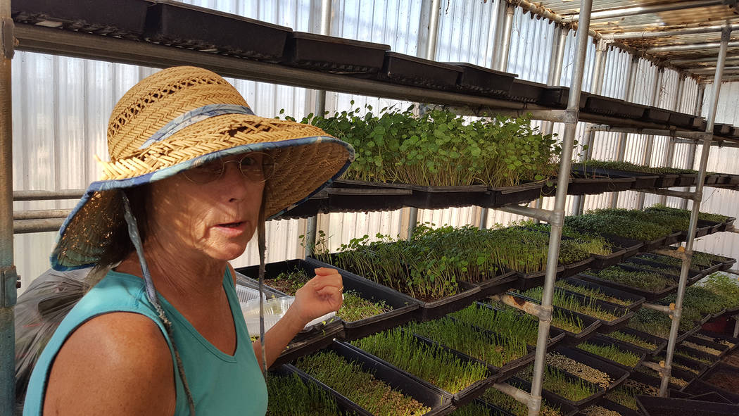 Dale Napier/Boulder City Review Diane Greene, owner of Herbs by Diane, cultivates a variety of greens and microgreens in her green house.