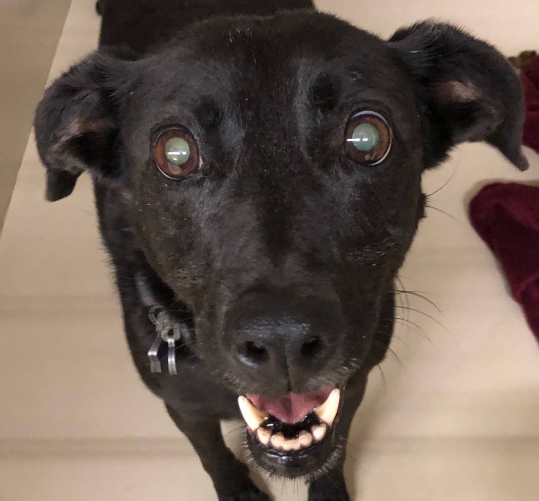 Boulder City Animal Shelter Molly came to the shelter when her owner could no longer care for her. Molly is a 7-year-old black Labrador mix who is spayed, vaccinated and completely housetrained. F ...