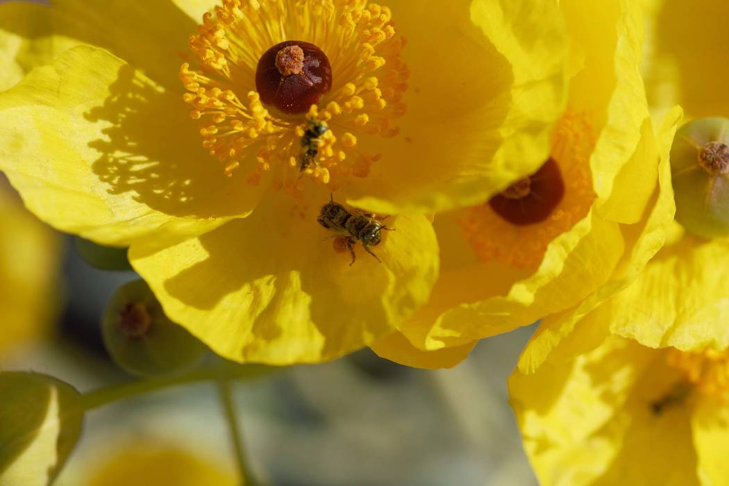 (Zach Portman/University of Minnesota Department of Entomology) A Mojave poppy bee on a flower. The Center for Biological Diversity wants the bee, found only in Clark County, to be added to the e ...