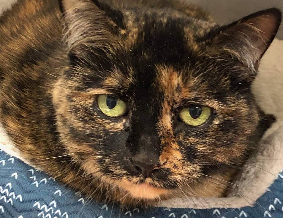 (Boulder City Animal Shelter) This beautiful girl came to the shelter when her owner passed away. She is a quiet senior cat, spayed, vaccinated and very clean. For more information, call the Bould ...