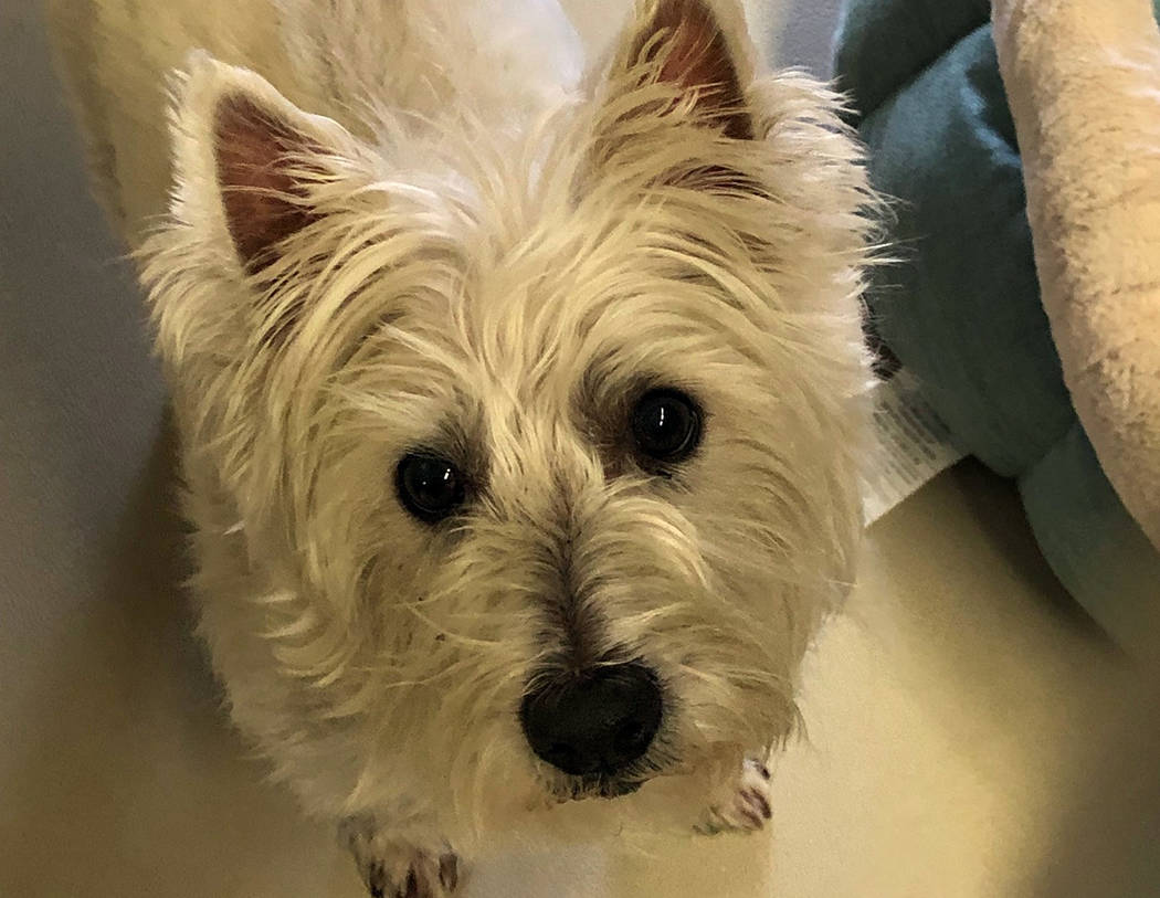 (Boulder City Animal Shelter) Sparky is 9-year-old West Highland white terrier who came to the shelter when her owner passed away. Sparky has had excellent care her whole life and is in good healt ...