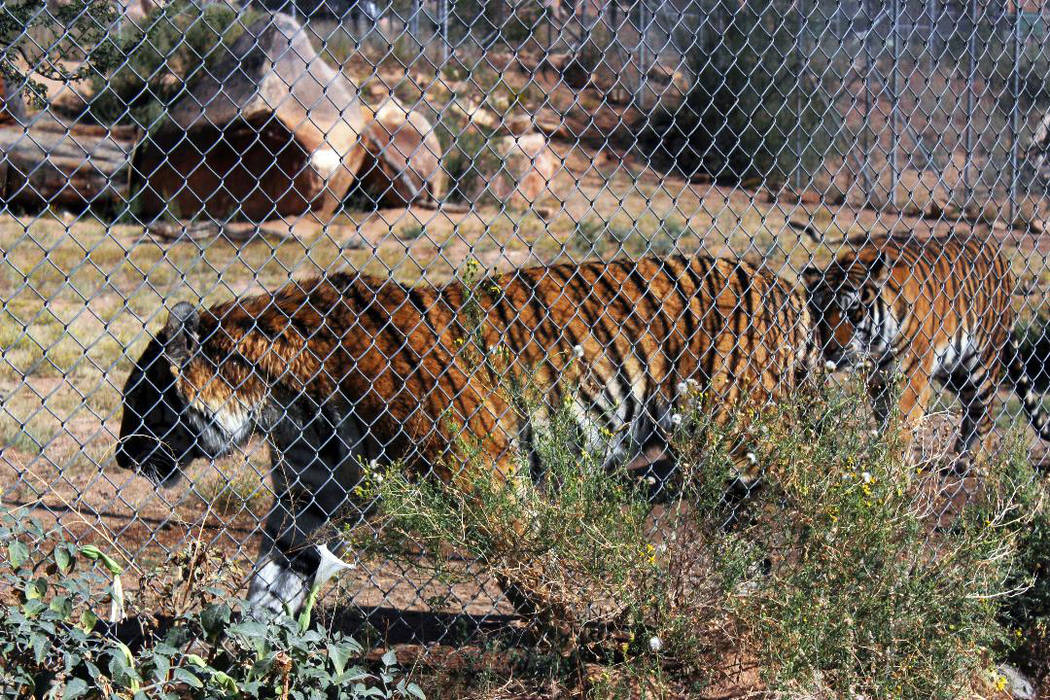(Deborah Wall) Keepers of the Wild Nature Park in Valentine, Arizona, has more than 30 large cats, including these two Bengal tigers.
