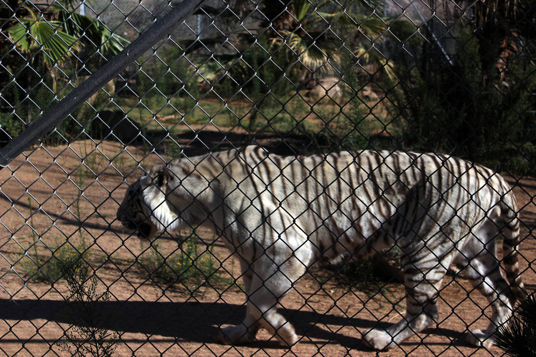 (Deborah Wall) A rare Royal White Bengal tiger is among the more than 150 animals that live at Keepers of the Wild nature park in Valentine, Arizona.