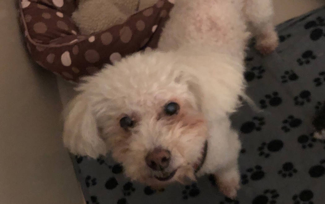 (Boulder City Animal Shelter) Ghost is a 9-year-old Bichon Frise that came to the shelter when his human passed away. Ghost is neutered, vaccinated, housetrained and gets along well with humans an ...