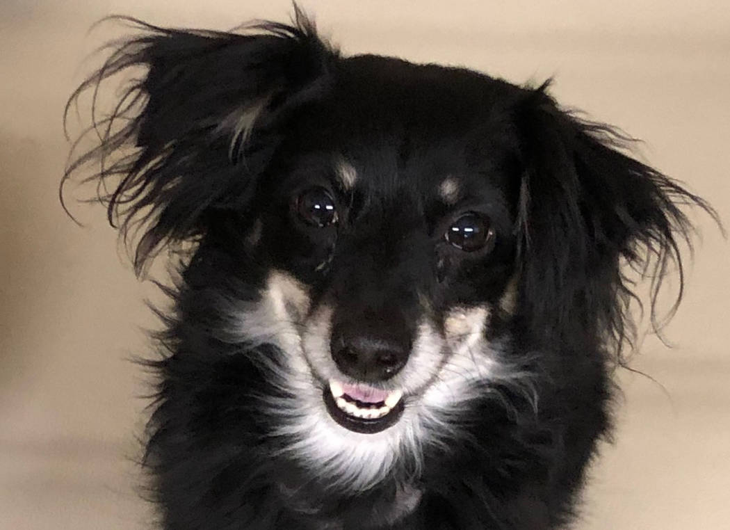 (Boulder City Animal Shelter) Ziggy is a miniature Australian shepherd mix who was abandoned at a bus stop in Boulder City. Ziggy is neutered, vaccinated and housetrained. For more information, ca ...