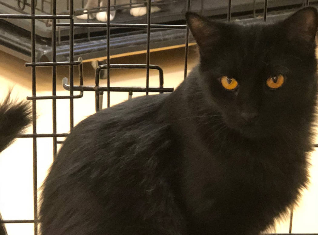 (Boulder City Animal Shelter) Amber came to the shelter last summer with her newborn kittens and now would like a home where she is kept safely inside. Amber is 1 year old, spayed and vaccinated. ...