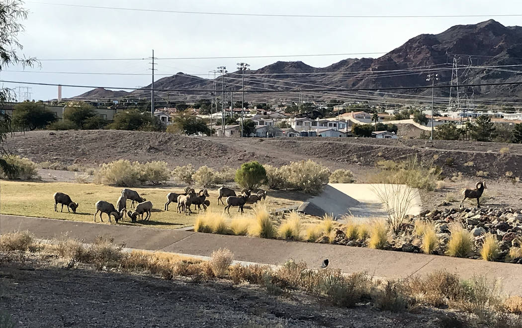 (Hali Bernstein Saylor/Boulder City Review) Bighorn sheep venture out of the mountains to Hemen ...