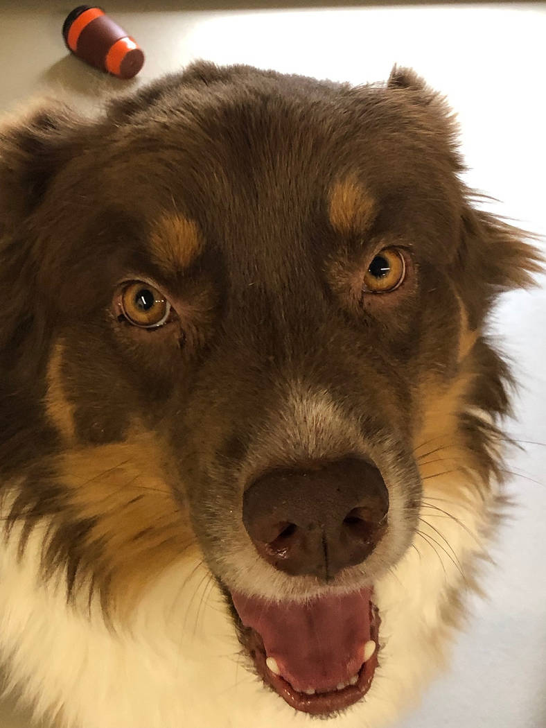(Boulder City Animal Shelter) Jagger is a young, neutered male Australian Shepherd in need of a ...