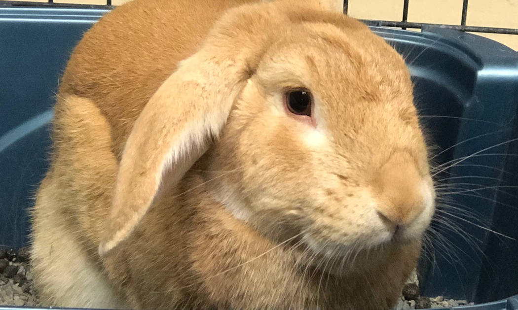 (Boulder City Animal Shelter) Peter is a 2-year-old neutered male rabbit. He is litter box trai ...