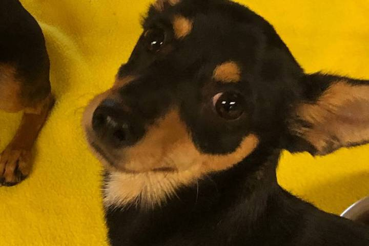 (Boulder City Animal Shelter) Monkey is a 1-year-old male Chihuahua in need of a new home. Monk ...