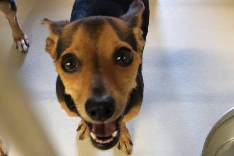 (Boulder City Animal Shelter) Mickey is a 6-month-old Chihuahua-dachshund mix in need of a fami ...