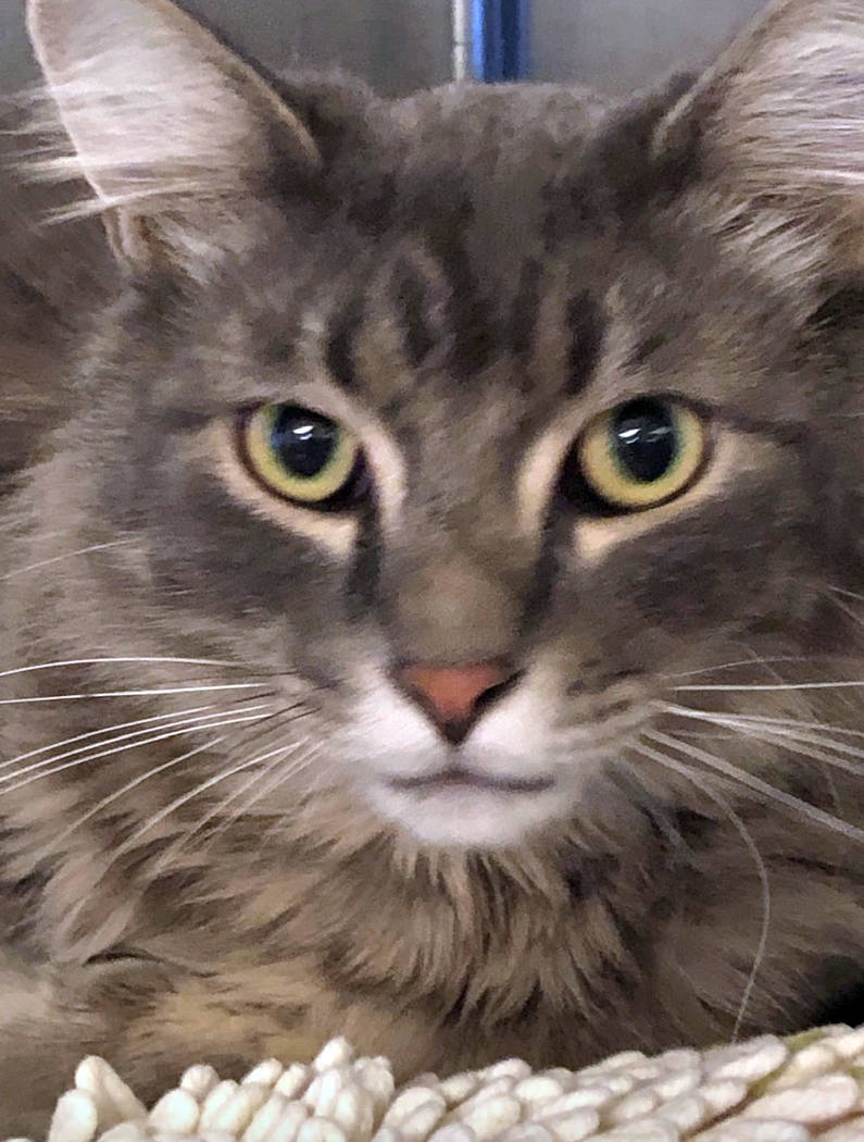 (Boulder City Animal Shelter) Raider is an 18 month old Long Haired Gray Tabby in need of a fam ...