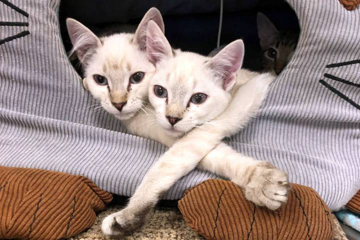 (Boulder City) Two of the 43 cats recently rescued from a local animal hoarder relax and await ...