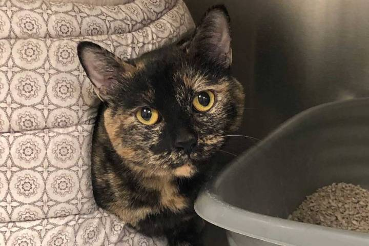 (Boulder City Animal Shelter) Mouser is a 5-year-old female cat in need of a new home. Mouser i ...