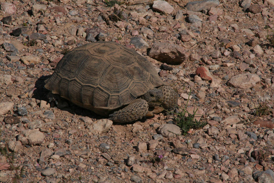 (Deborah Wall) Wildlife in the the Pahranagat National Wildlife Refuge include desert tortoise, ...