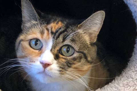 (Boulder City Animal Shelter) Bobbi came to the shelter when her owner could no longer care for ...