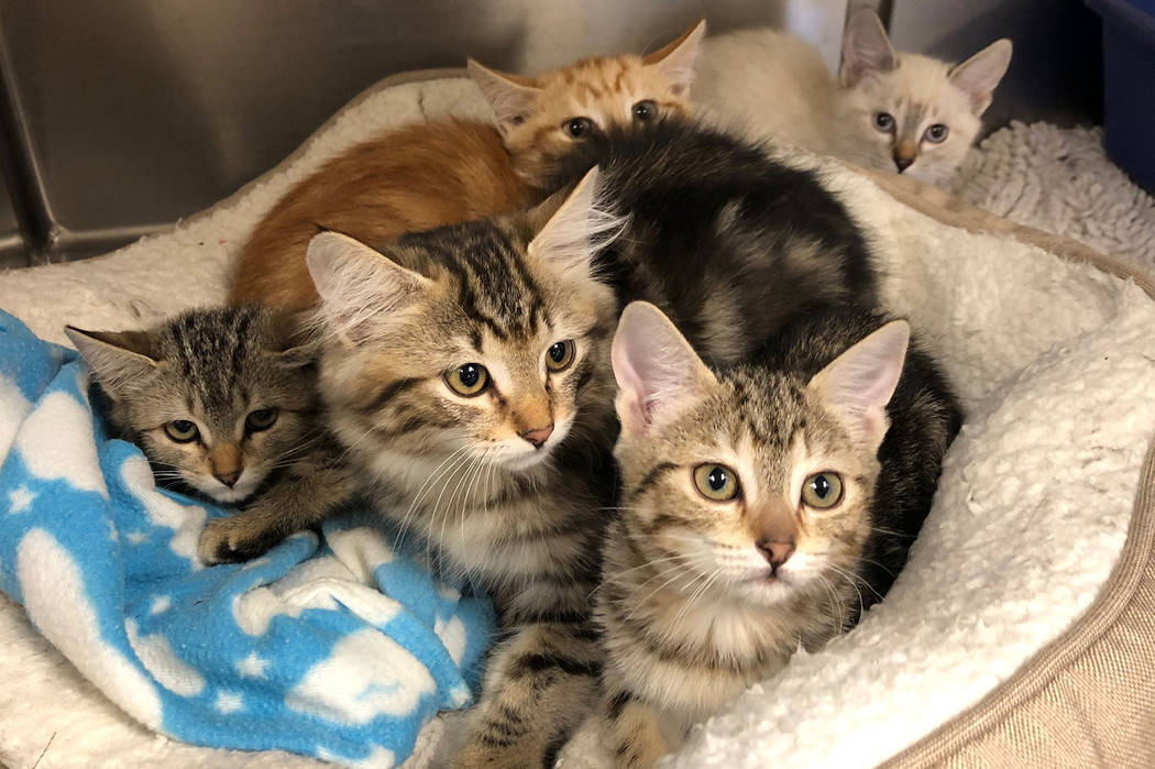 (Boulder City Animal Shelter) The Boulder City Animal Shelter is home to many kittens in need o ...