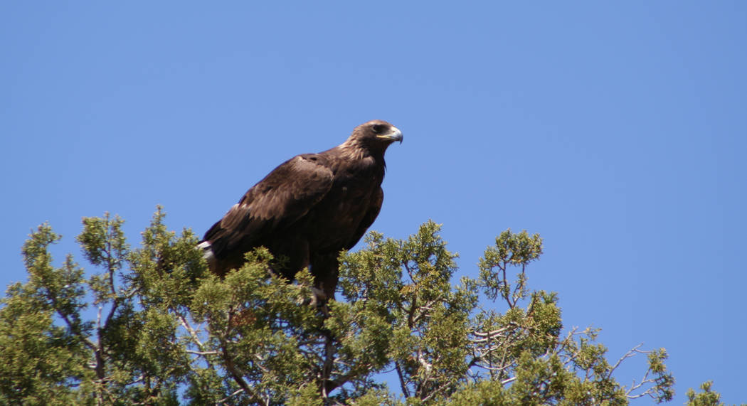 (Deborah Wall) In late fall, migrating golden eagles make their home in Arizona's Verde ...