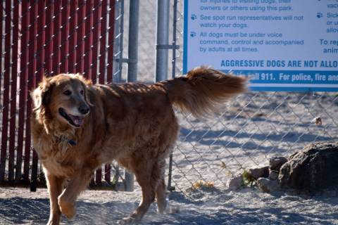 Celia Shortt Goodyear/Boulder City Review Ringo Starr, a 9-year-old golden retriever, anxiously ...