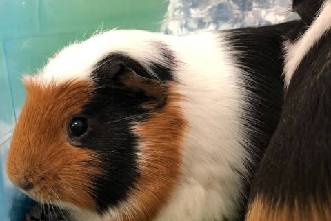 (Boulder City Animal Shelter) These two female guinea pigs are in need of a home where they wil ...