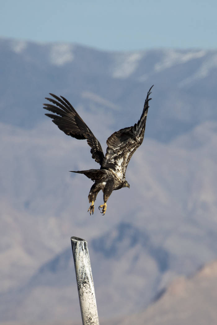 (Ellen Schmidt/Las Vegas Review-Journal) A juvenile bald eagle takes flight during the annual e ...