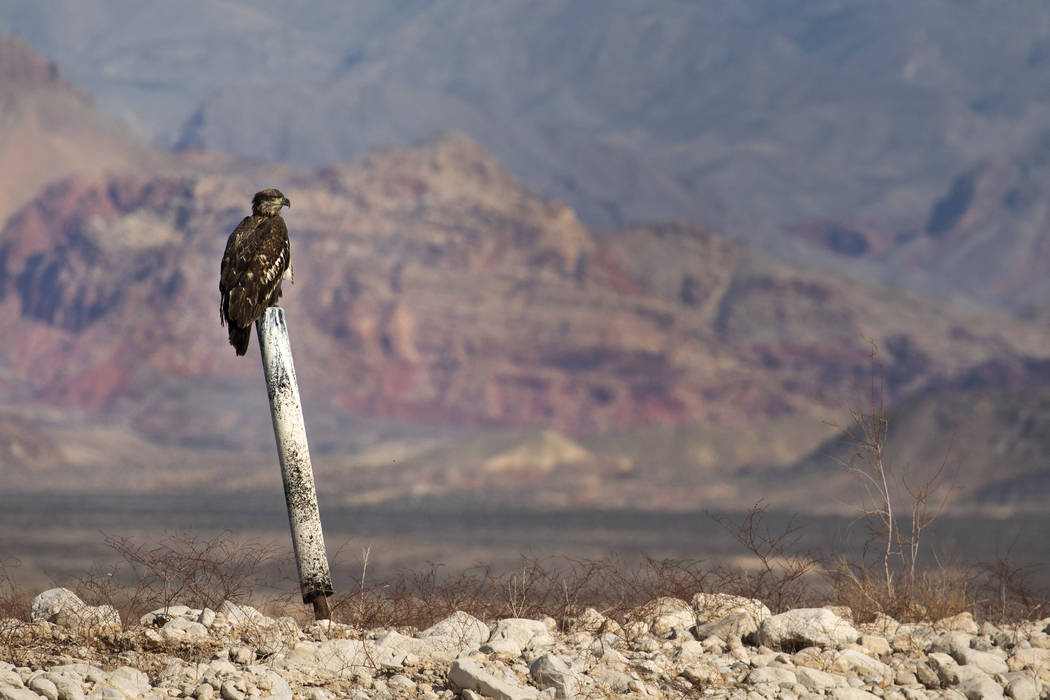 (Ellen Schmidt/Las Vegas Review-Journal) A juvenile bald eagle perches on a former buoy post du ...