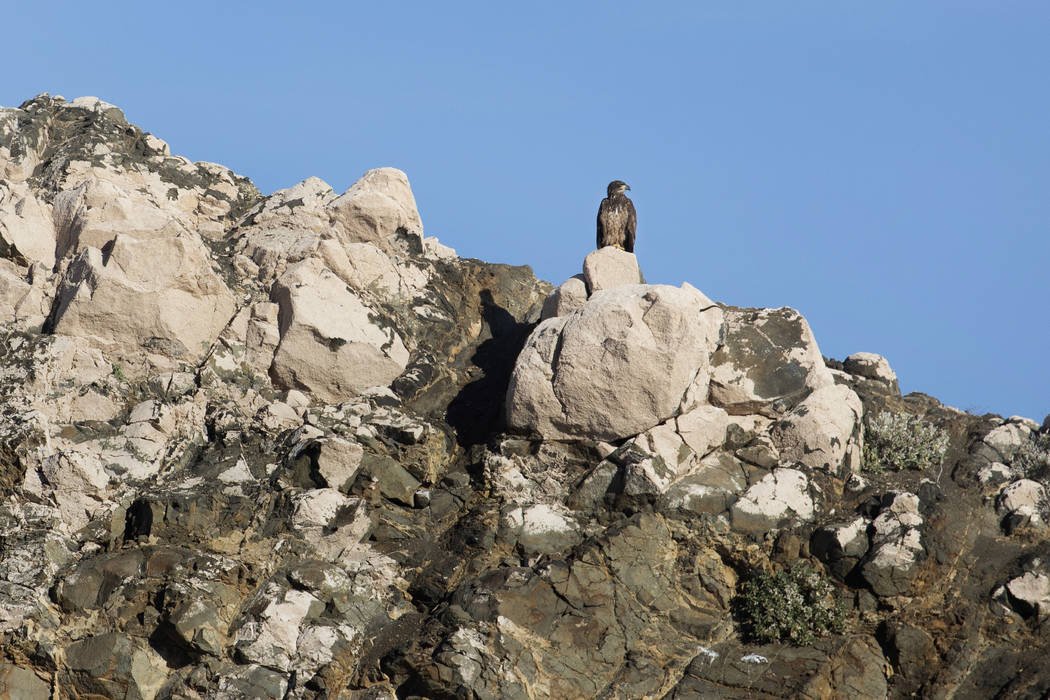 (Ellen Schmidt/Las Vegas Review-Journal) A juvenile bald eagle perches on the shores of Lake Me ...