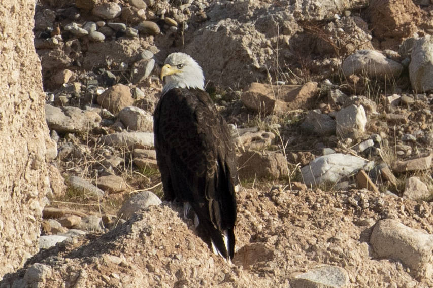 (Ellen Schmidt/Las Vegas Review-Journal) An adult bald eagle is counted for the annual eagle su ...