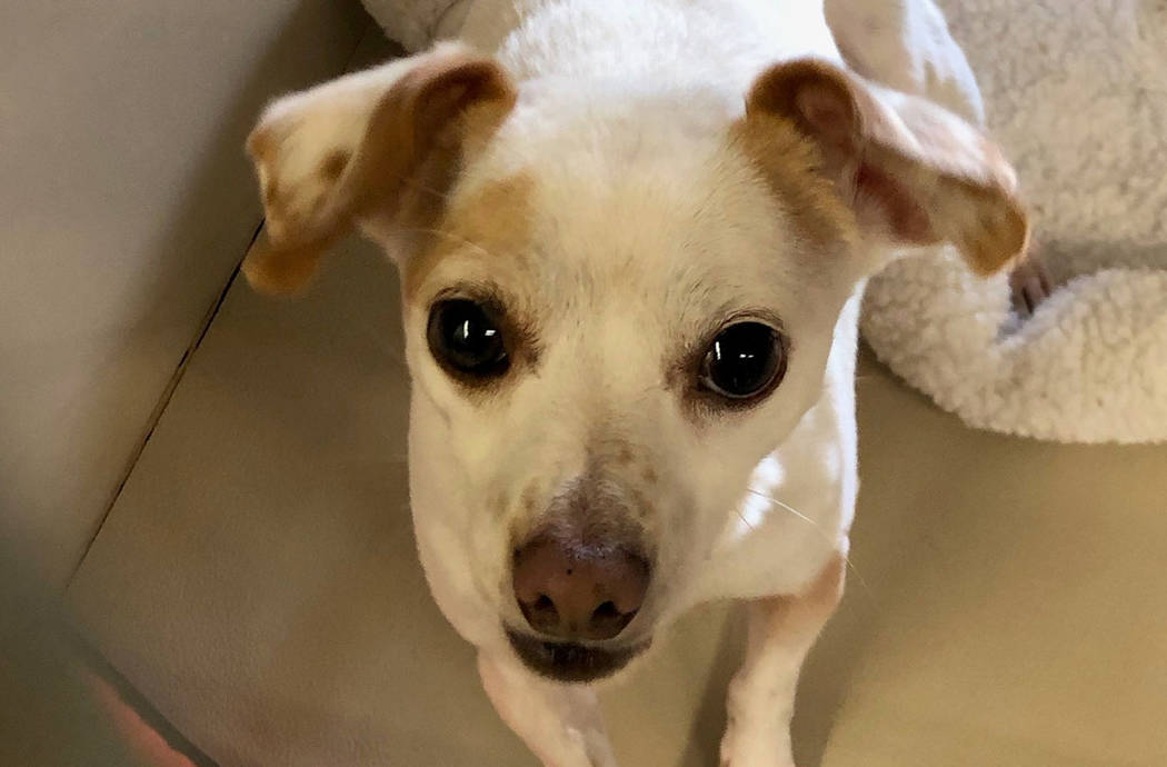 (Boulder City Animal Shelter) Tiny Toby is in need of a home where he will receive a lot of att ...