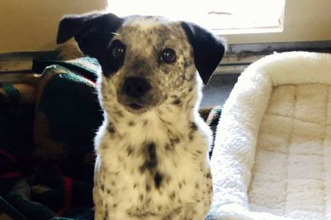 (Boulder City Animal Shelter) Seven-year-old Gypsy is a small heeler mix that is spayed, vaccin ...