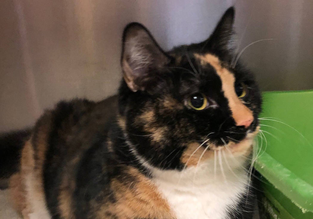 (Boulder City Animal Shelter) Miss Sophie came to the shelter when her human owner passed away. ...
