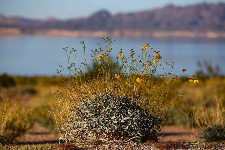 Chase Stevens/Las Vegas Review-Journal Wildflowers could be seen near Boulder Beach at Lake Mea ...