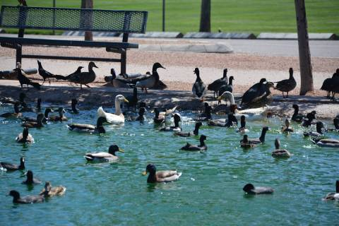 (Celia Shortt Goodyear) With fewer people in Veterans' Memorial Park, the pond is full o ...